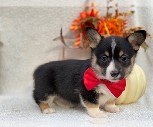 Cardigan Welsh Corgi Puppy for sale in LANCASTER, PA, USA