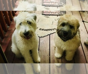 Soft Coated Wheaten Terrier Puppy for sale in TALLAHASSEE, FL, USA