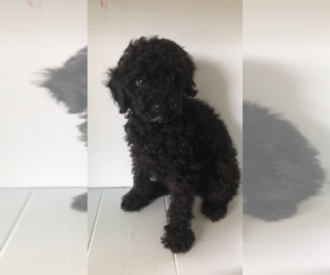 Poodle (Miniature) Dog for Adoption in FAYETTEVILLE, West Virginia USA
