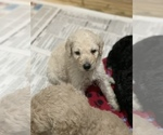 Small Photo #2 Poodle (Standard) Puppy For Sale in TAMPA, FL, USA