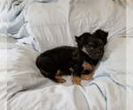 Small #3 Chorkie-Yorkshire Terrier Mix