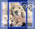 Small Photo #9 Golden Retriever Puppy For Sale in TEMPLE, TX, USA