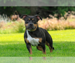 Mother of the American Bully puppies born on 10/11/2020
