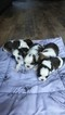 Shih Tzu Puppy For Sale in MOORE, SC, USA
