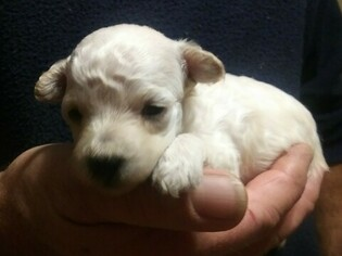 Goldendoodle Puppy For Sale in NORTH LIBERTY, IN, USA