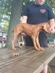 Vizsla Puppy For Sale in HANOVERTON, OH, USA