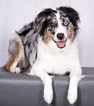 Australian Shepherd Puppy For Sale in SOUTH JORDAN, UT, USA