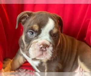 English Bulldog Puppy for sale in STKN, CA, USA