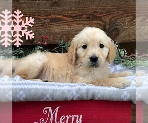 Golden Retriever Puppy for sale in DRY RUN, PA, USA
