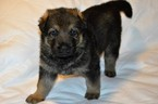 German Shepherd Dog Puppy For Sale in ALLIANCE, OH