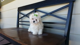 Mal-Shi Puppy for sale in LOS ANGELES, CA, USA