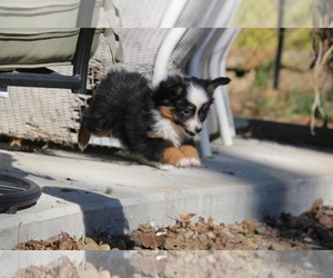 Miniature Australian Shepherd Puppy for Sale in KNOTTSVILLE, Kentucky USA
