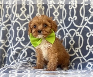 Cavapoo Puppy for sale in LAKELAND, FL, USA