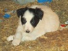 Border Collie Puppy For Sale in CORYDON, IN