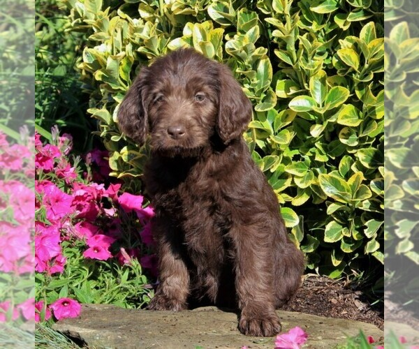 Medium Photo #2 Labradoodle Puppy For Sale in NEW PROVIDENCE, PA, USA