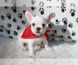 French Bulldog Puppy for sale in COLLEYVILLE, TX, USA