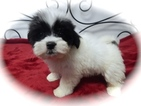 Havanese Puppy For Sale in HAMMOND, IN, USA
