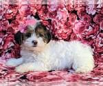 Small #3 Poodle (Miniature)-Shorkie Tzu Mix