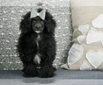 Puppy 9 Poodle (Toy)