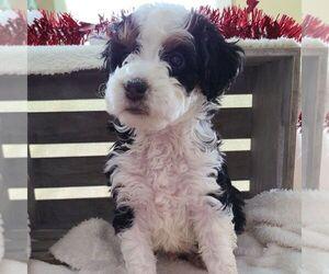 Bernedoodle-Poodle (Miniature) Mix Dog for Adoption in FORT PLAIN, New York USA