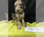 Puppy 6 Saint Berdoodle