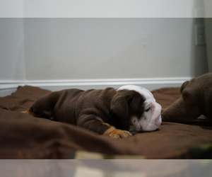 English Bulldog Puppy for sale in SIMPSONVILLE, SC, USA