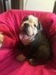 English Bulldog Puppy For Sale near 02128, Boston, MA, USA
