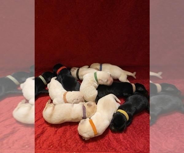 Medium Photo #1 Labrador Retriever Puppy For Sale in CLARKESVILLE, GA, USA