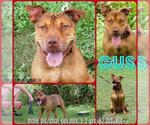 Small #53 American Staffordshire Terrier-Chinese Shar-Pei Mix