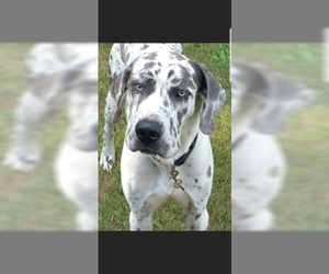 Father of the Great Dane puppies born on 02/08/2019