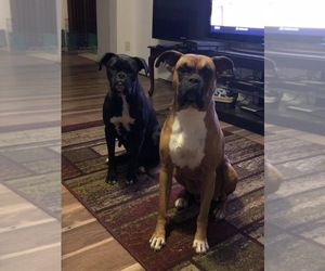 Boxer Puppy for Sale in LEXINGTON, Kentucky USA