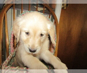 English Cream Golden Retriever Puppy for sale in TRAVERSE CITY, MI, USA