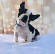 French Bulldog Puppy For Sale in CRANSTON, RI, USA