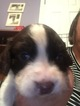 English Springer Spaniel Puppy For Sale in MANCHESTER, KY