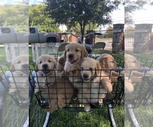 Golden Retriever Puppy for Sale in DALLAS, Texas USA