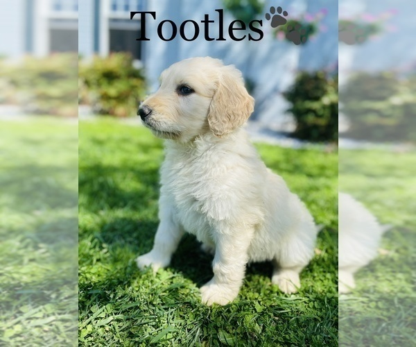 Medium Photo #6 Saint Bernard Puppy For Sale in COOKEVILLE, TN, USA