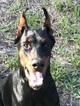 Doberman Pinscher Puppy For Sale in MIAMI, Florida,