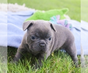French Bulldog Dog for Adoption in LANSING, Michigan USA