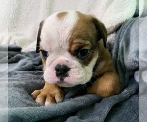 English Bulldog Dog for Adoption in JOHNS ISLAND, South Carolina USA