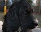 Springerdoodle Puppies Born October 21st
