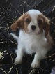 Cavalier King Charles Spaniel Puppy For Sale in WEST POINT, VA, USA