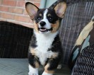Pembroke Welsh Corgi Puppy For Sale in SIDNEY, Ohio,