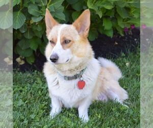 Mother of the Pembroke Welsh Corgi puppies born on 05/08/2021