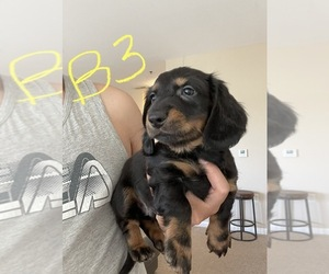 Dachshund Puppy for sale in PERRYSBURG, OH, USA