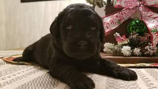 Labrador Retriever-Poogle Mix Puppy for sale in RAMONA, CA, USA