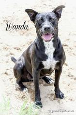 Wanda - Labrador Retriever Dog For Adoption