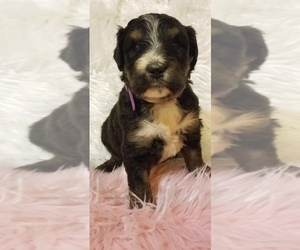 Bernedoodle Puppy for sale in DALE, IN, USA