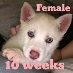 Siberian Husky Puppy for sale in ANAHEIM, CA, USA