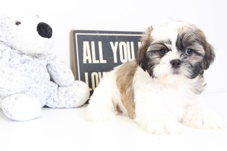 Shih Tzu Puppy for sale in NAPLES, FL, USA