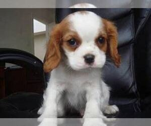 Cavalier King Charles Spaniel Dog for Adoption in SOUTH BEND, Indiana USA